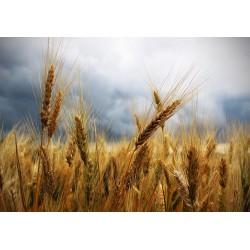 Третий сезон подряд. Россия снова может стать мировым лидером по экспорту пшеницы