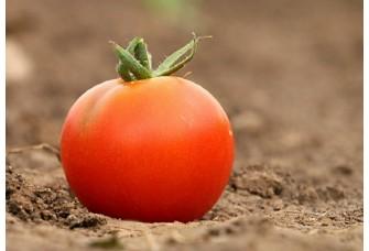 Болезни томата. Симптомы недостатка Азота и Фосфора